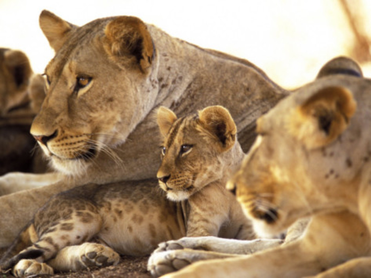 Lioness and Motherhood