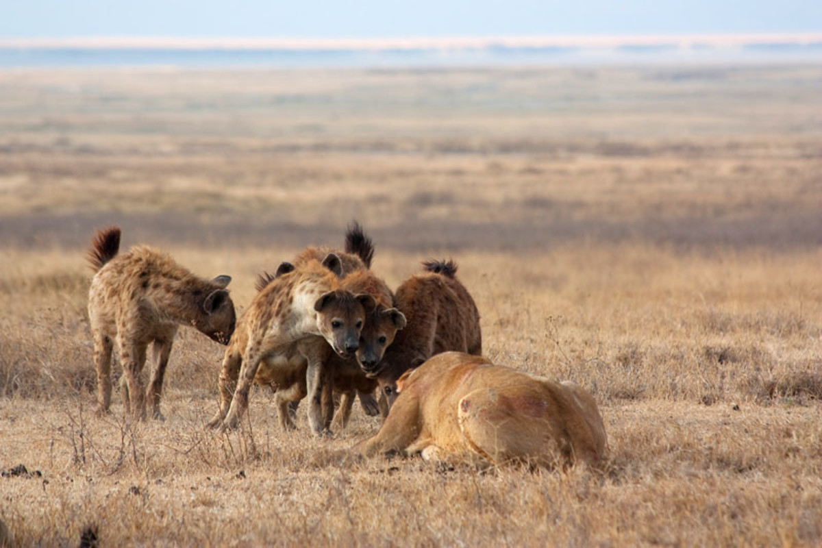 Lions and Hyenas on the African Plains
