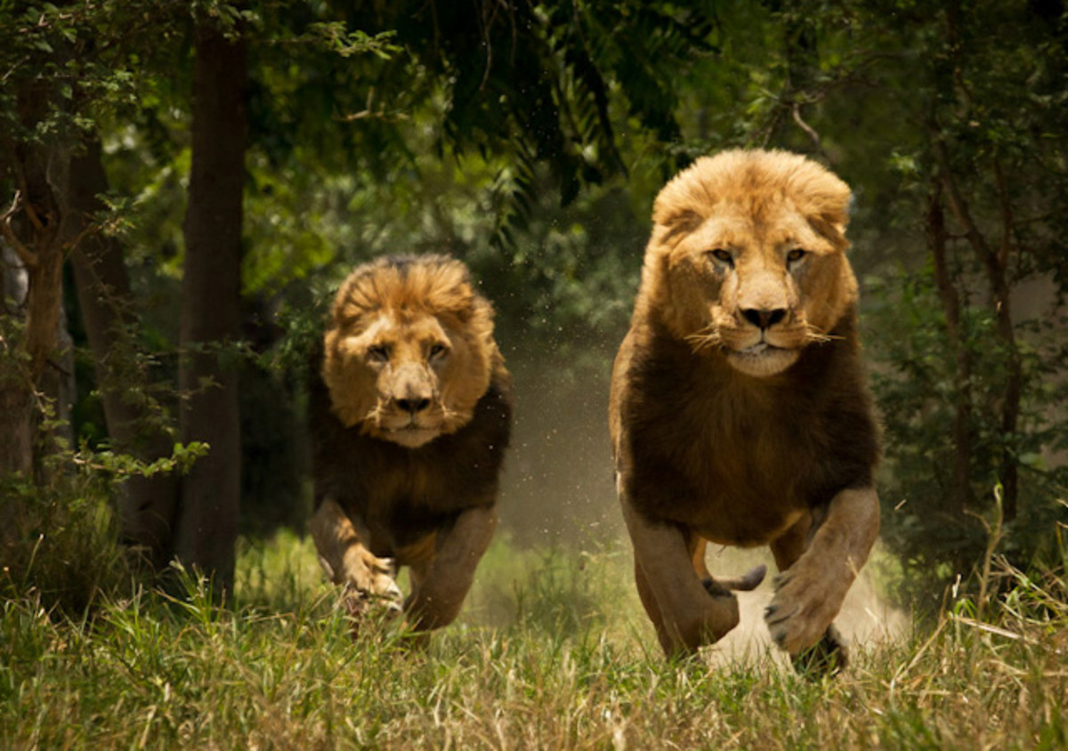 The Lion Charge!