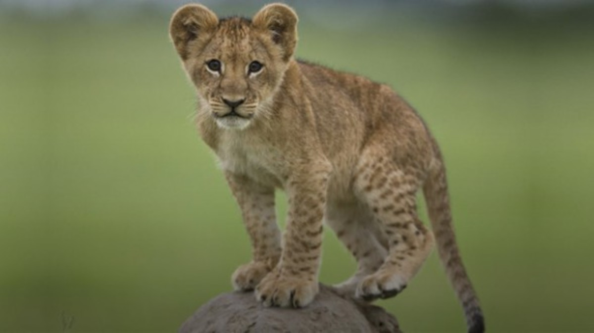 wild-cats-facts-about-the-lion