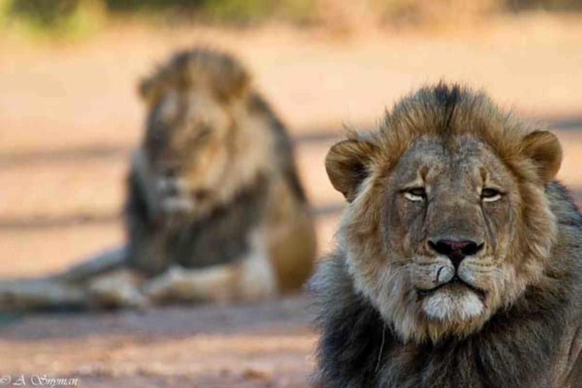 Lions.  Yep.