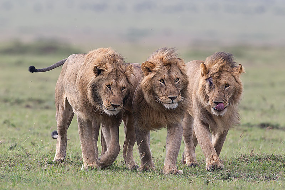 A Coalition of Male Lions