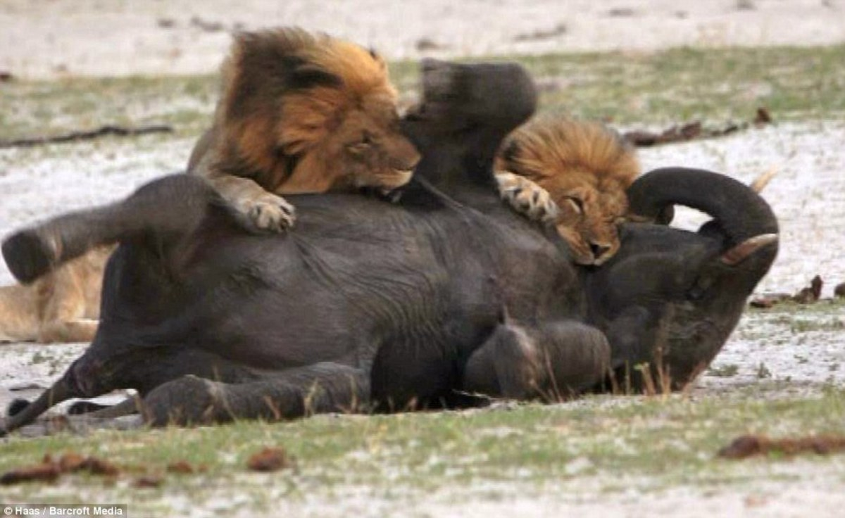 The African Lion - capable of killing almost anything