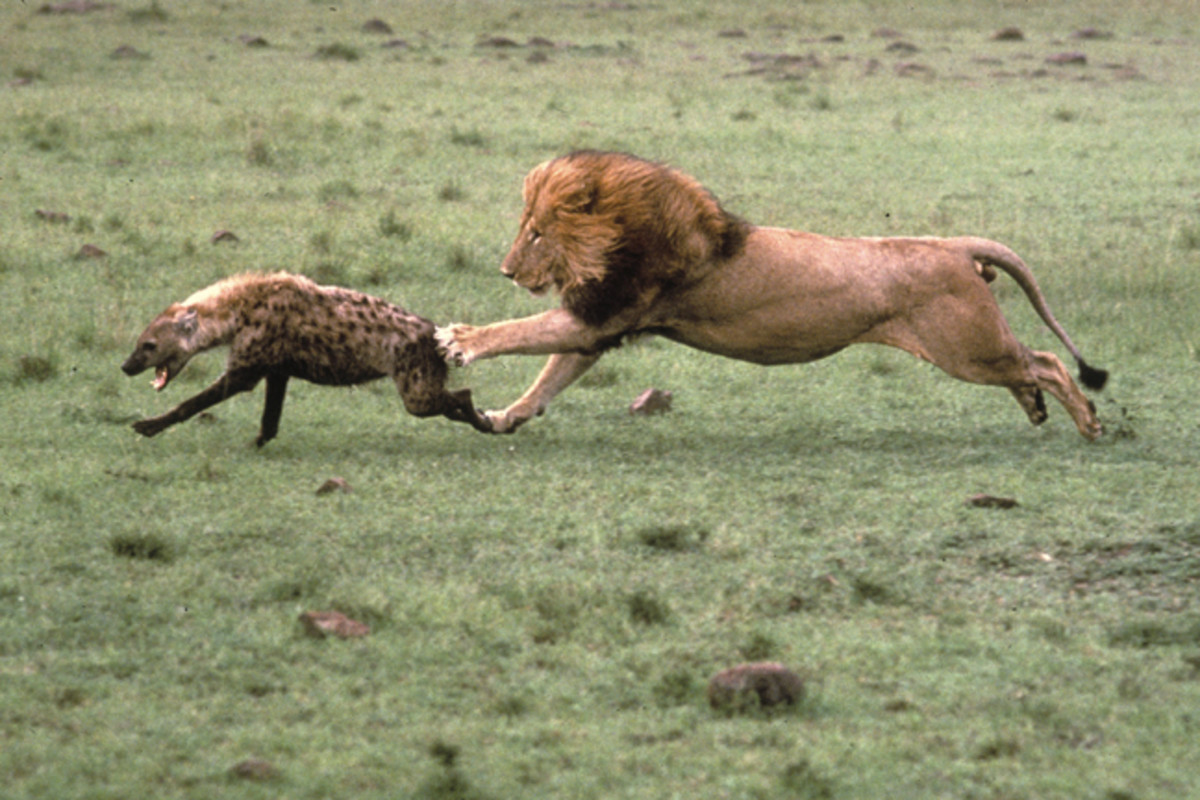 Fierce Competitors - Lion and Hyena
