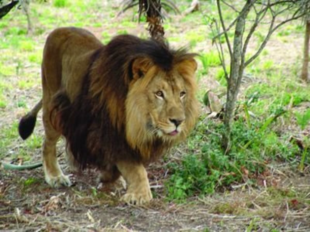 This lion probably gets all the lionesses