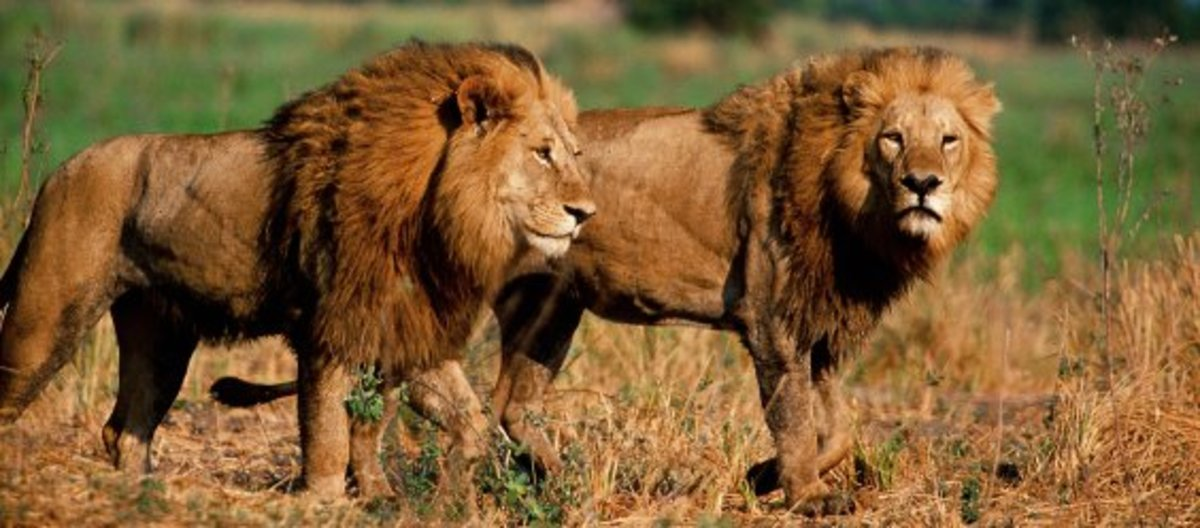 Lions Coming of-Age