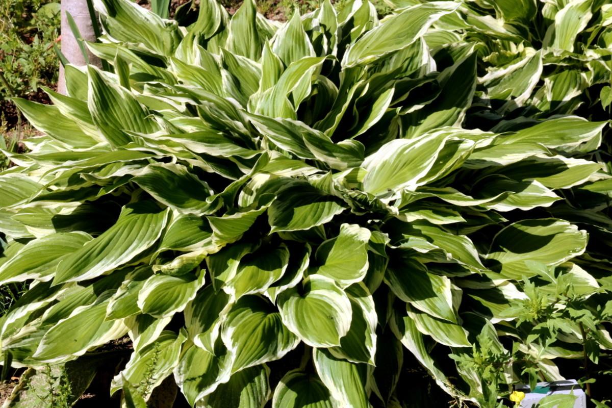 how-to-grow-hostas-beautiful-shade-tolerant-plants