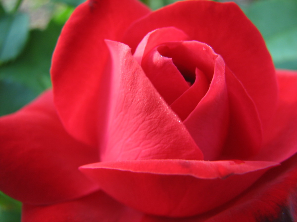 Red Rose With Subtle Dew Drops