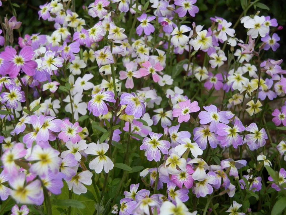 Virginian Stock - (Malcolmia maritima) - The Prettiest, Easiest Annual to Grow