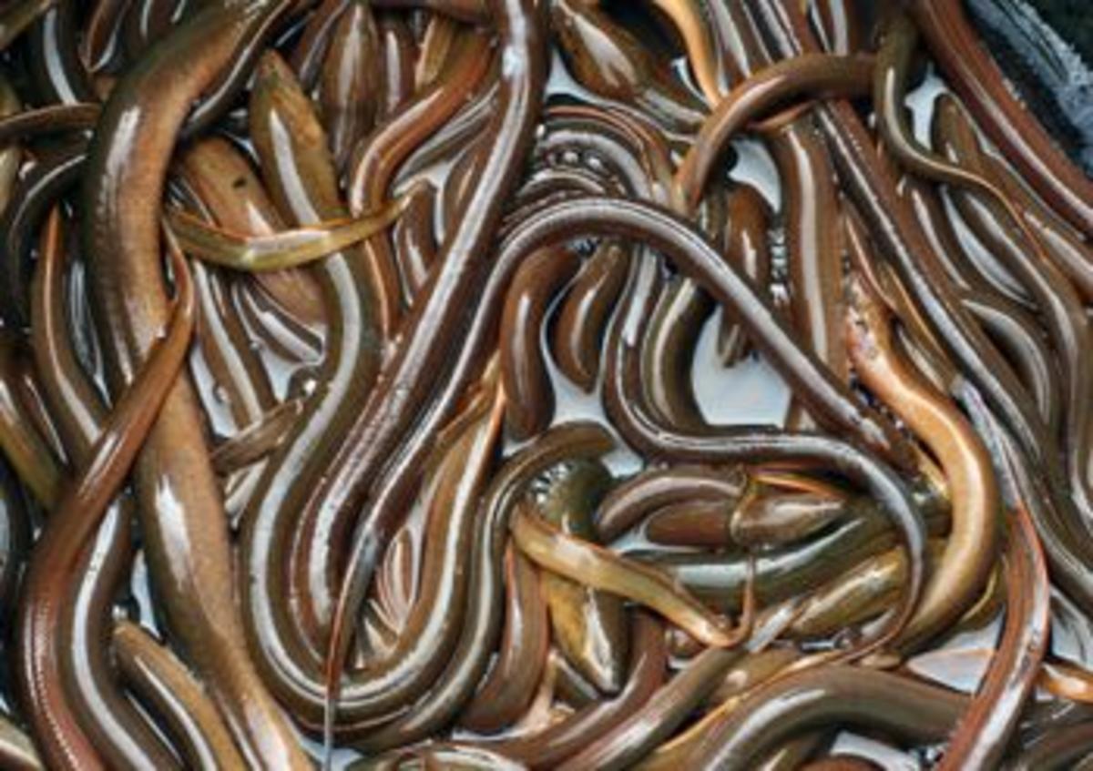 Silver freshwater eels