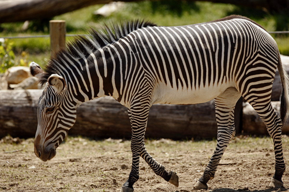 Grevy's Zebras have narrow stripes and white bellies.