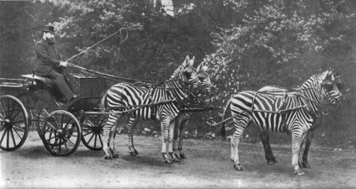 The 2nd Baron Rothschild frequently drove through London in his zebra carriage.