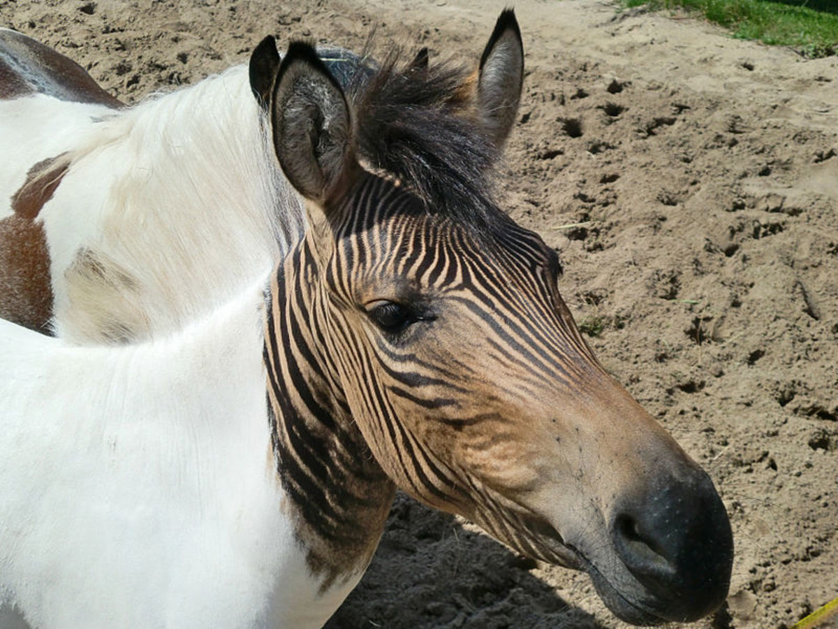 The hebra Eclyse, the child of a zebra mare and a horse stallion.  Notice that only the dark parts of its body are striped.