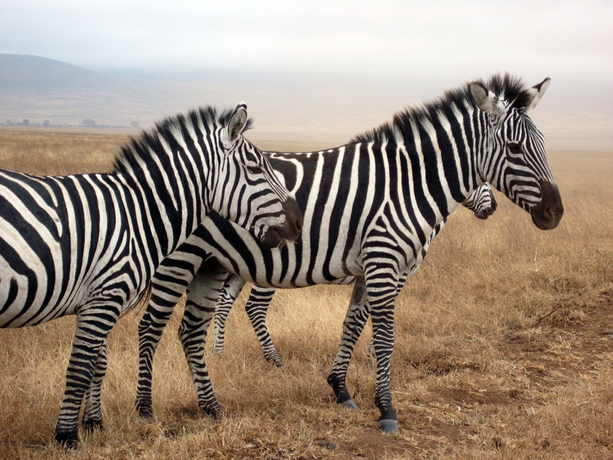 Each zebra has a unique pattern of stripes, like fingerprints in humans.