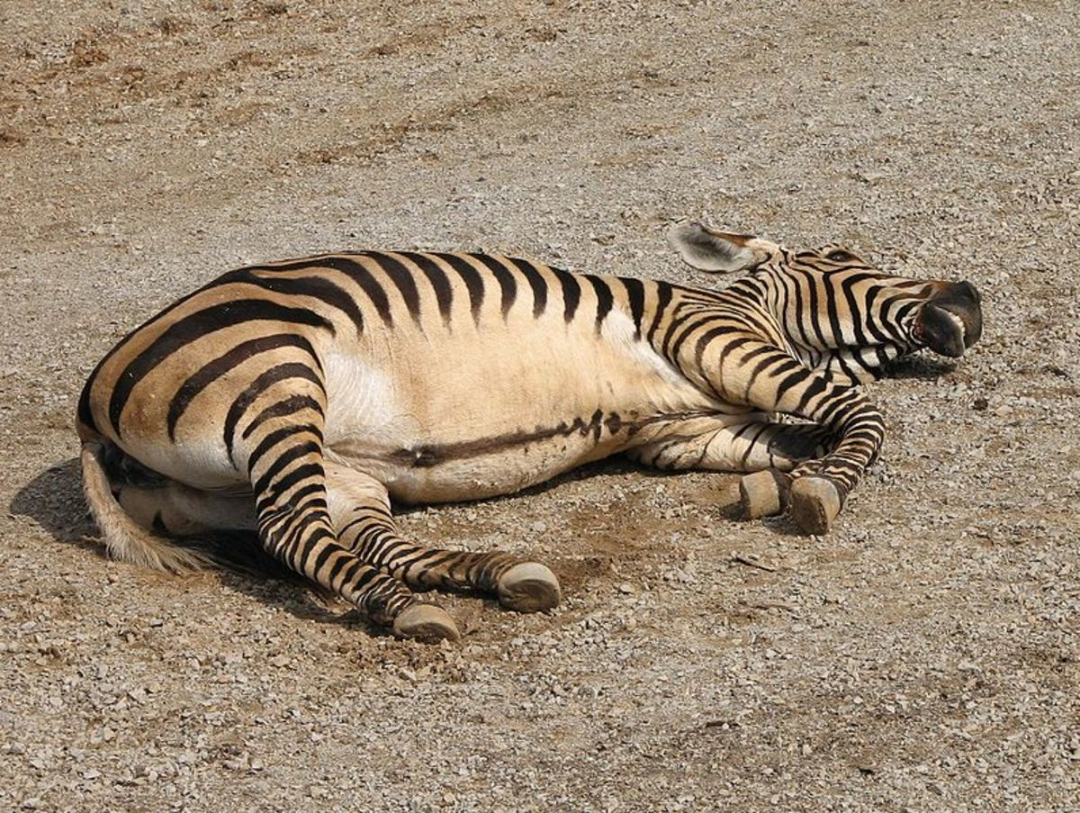 Mountain zebras can be distinguished by their white bellies.