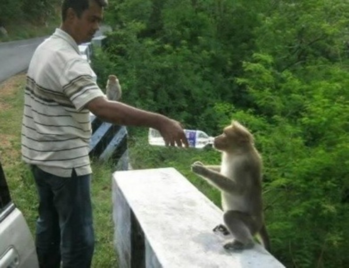 Helping a monkey with some drinking water, but the authority and environmentalists are against this practice.