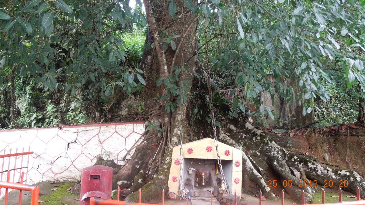 The Chain Tree at Lakkidi, Wayanad.