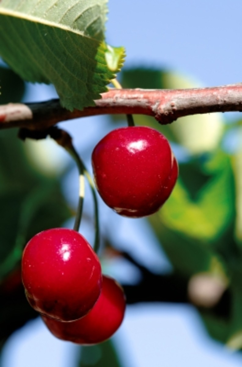 there are two types of cherries, sweet cherries or sour cherries and both have health and beauty benefits.