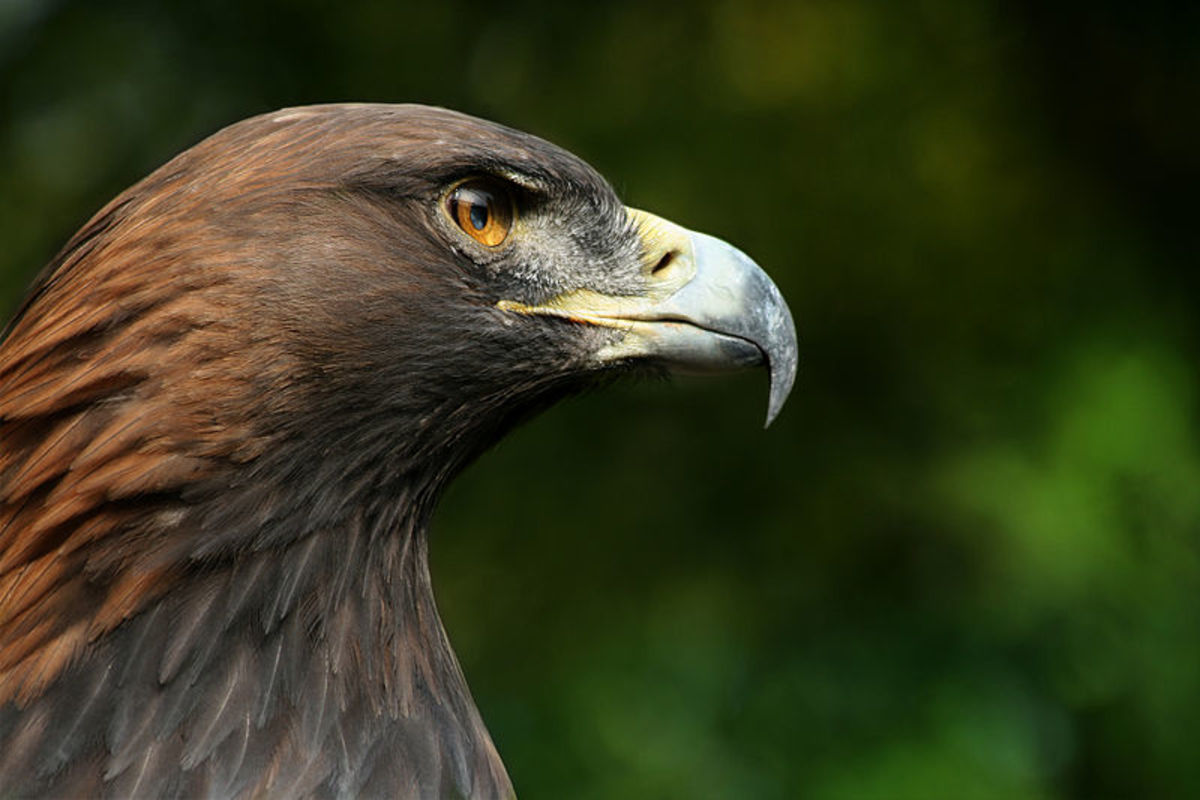 The Golden Eagle - The national symbol of Albania.  Photo by Richard Bartz (Creative Commons)