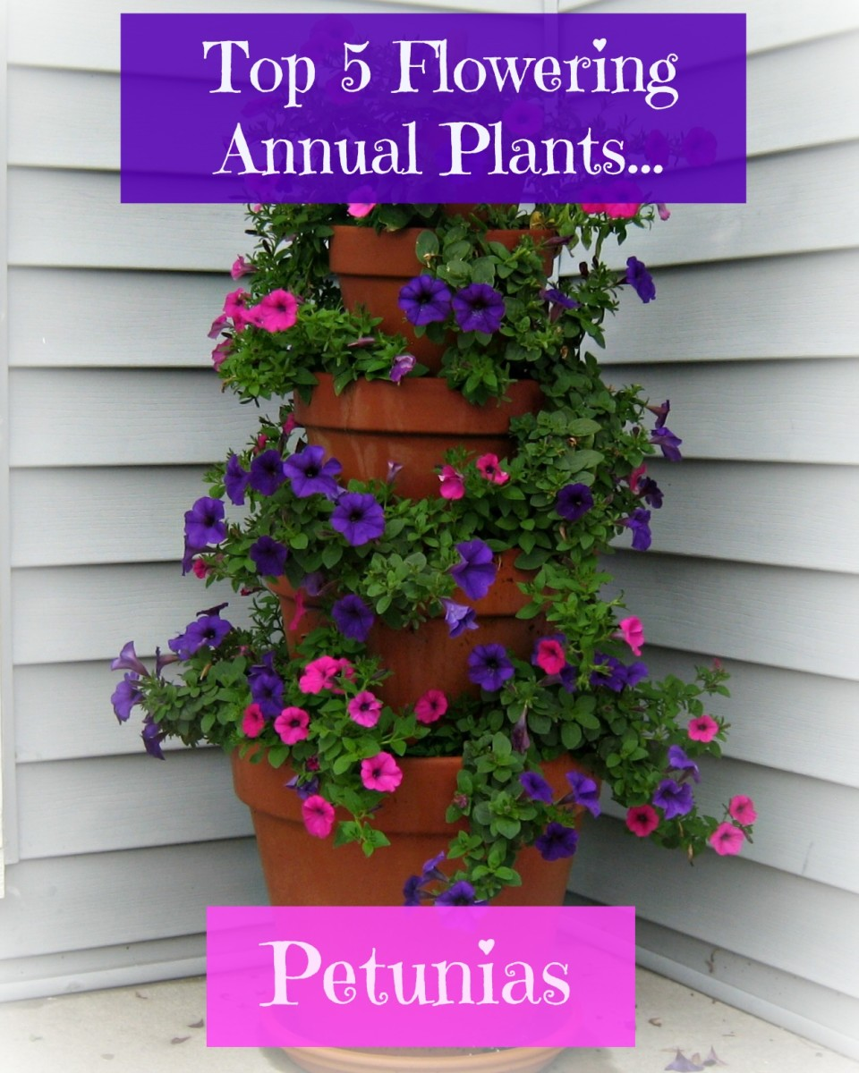 Petunia's make excellent container and bedding plants.