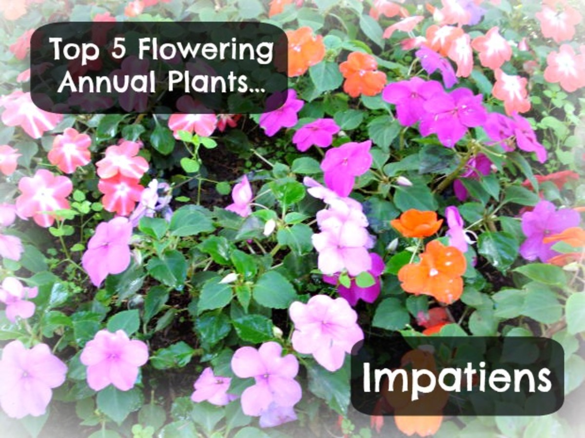 The variety of colors of the Impatiens are only one of the reasons this is the perfect flowering annual plant.