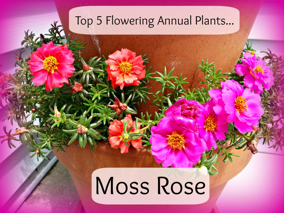 Moss Rose give a punch of color to any sunny and dry location in your garden.