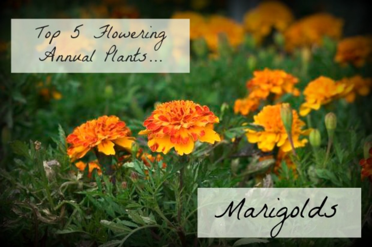 Marigolds are one of the most cheerful looking flowers to plant in your garden.