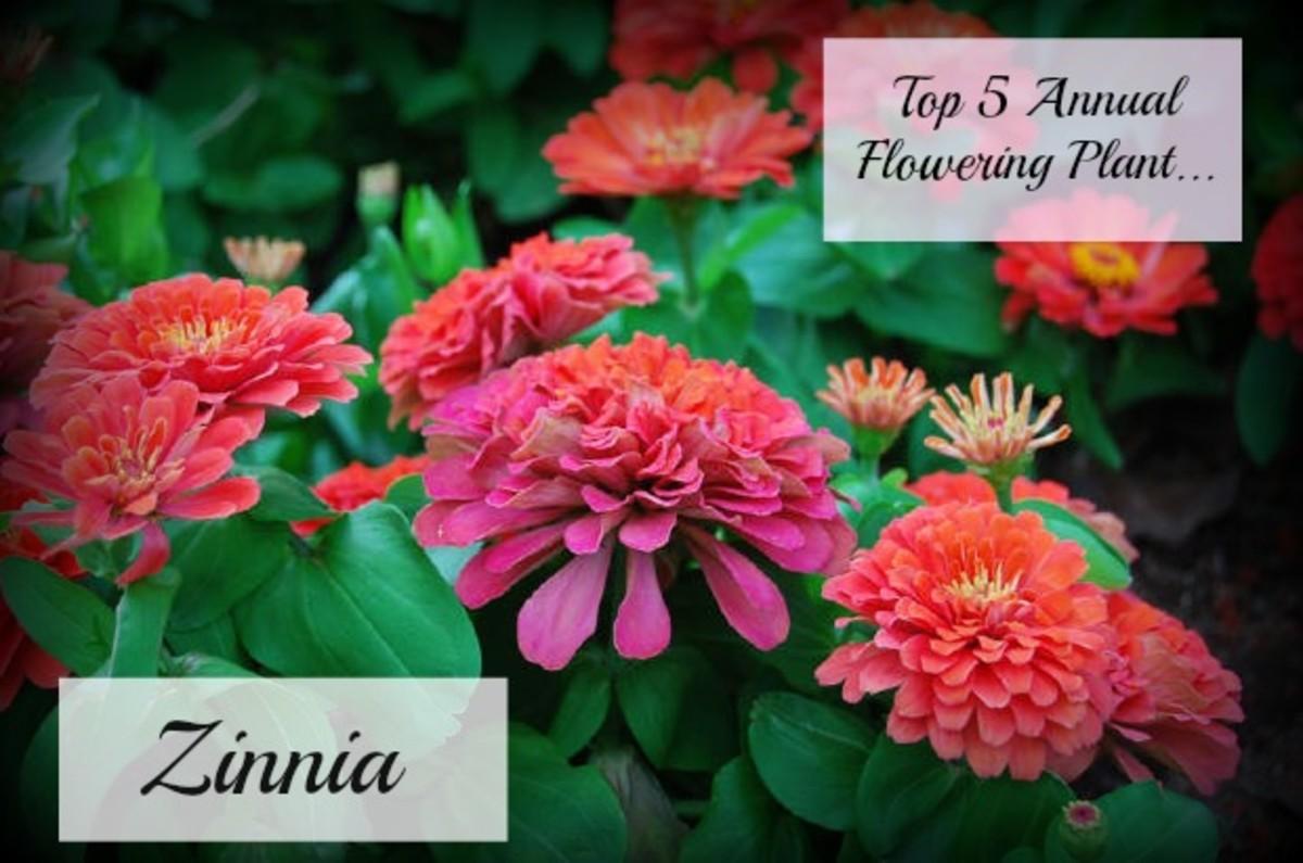 Zinnas make excellent cut flowers.