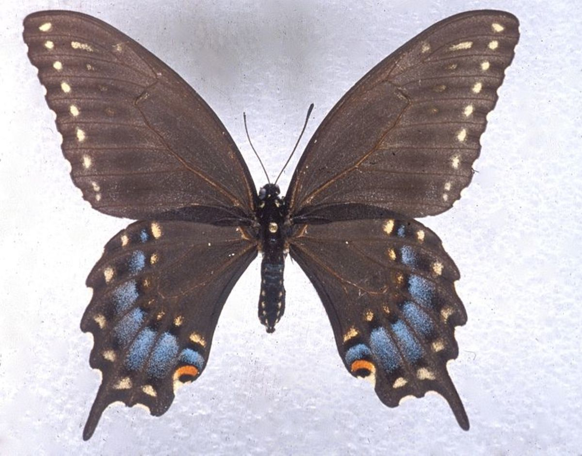 Ozark woodland swallowtails are common to the Missouri Ozarks and northern Arkansas. Pictured: a female of the species.