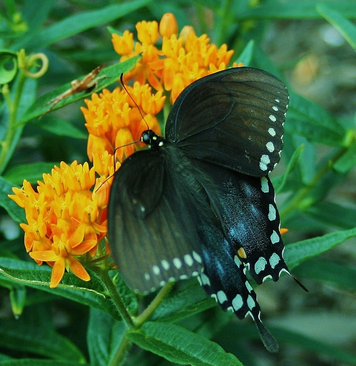 A female black swallowtail on butterfly weed in our front yard, where she laid eggs.