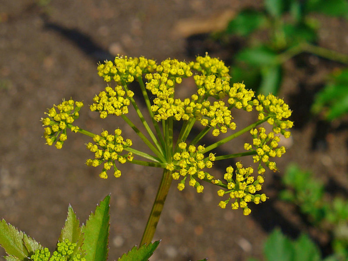 Golden alexanders blooms for about a month, from late spring to early summer. Caterpillars eat their leaves and flowers.