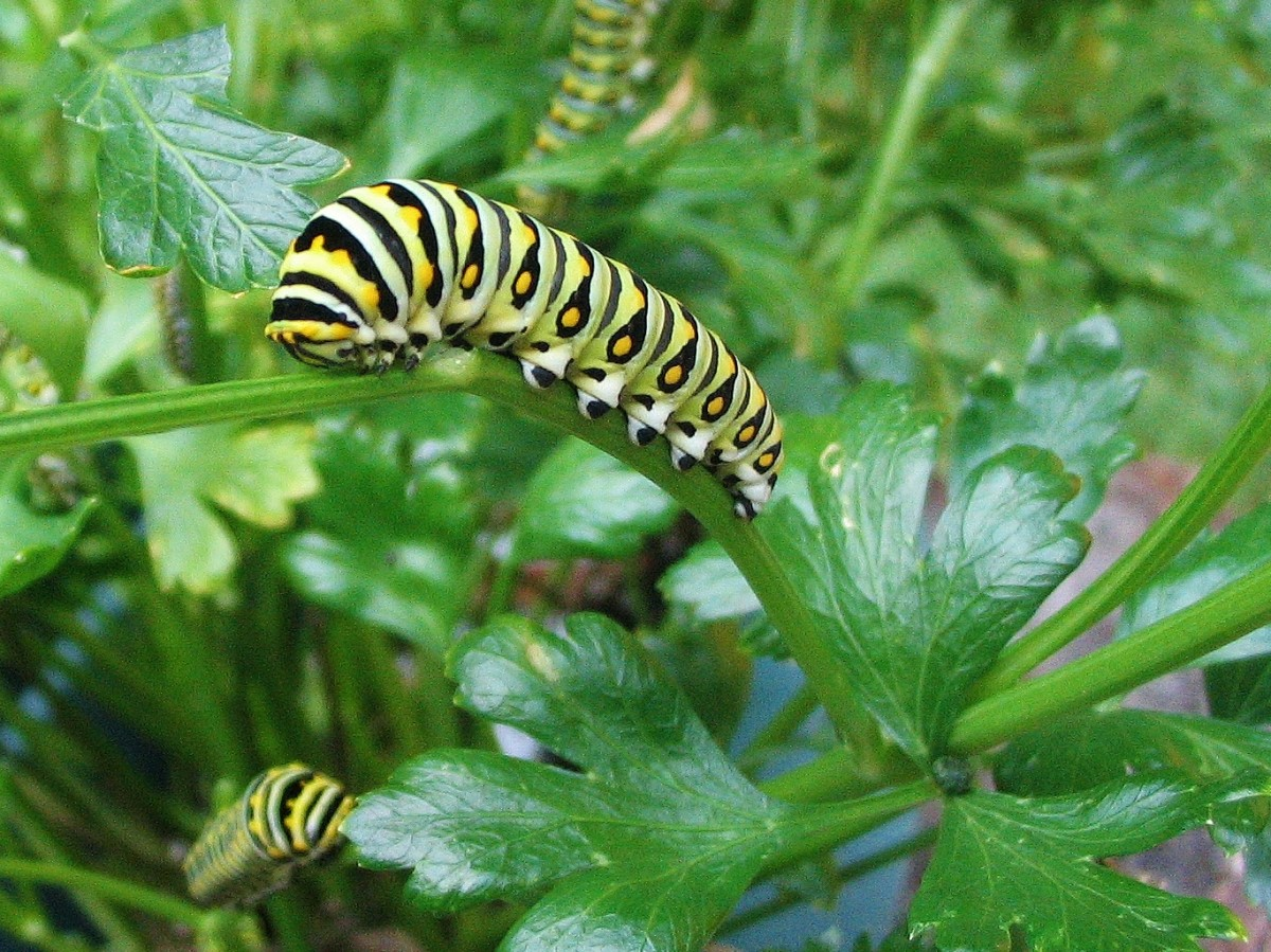 Multiple swallowtail caterpillars feed on a patch of flat-leaved parsley.
