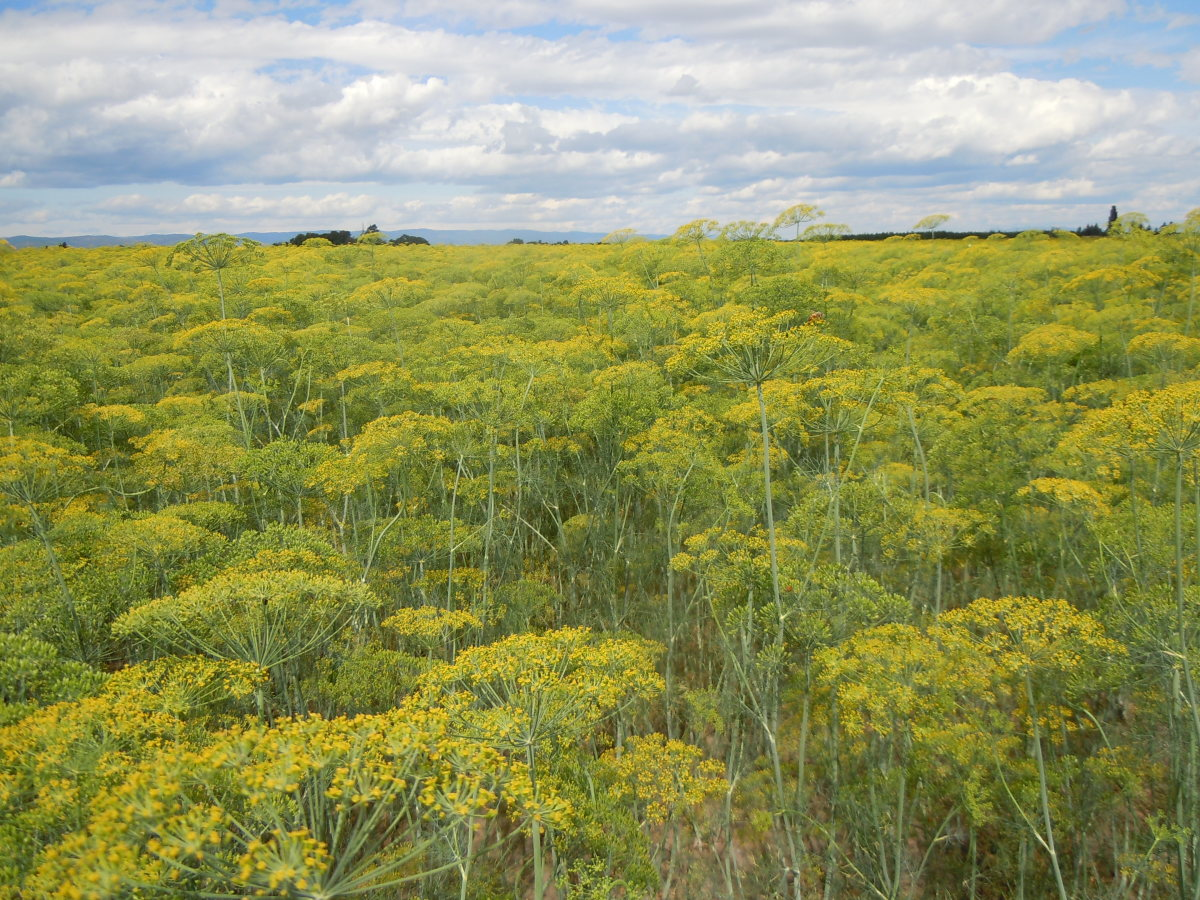 A field of dill weed cultivated in Flathead Valley, Montana.