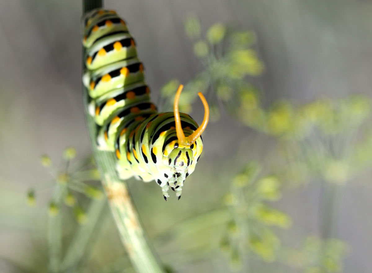 A swallowtail caterpillar on dill.