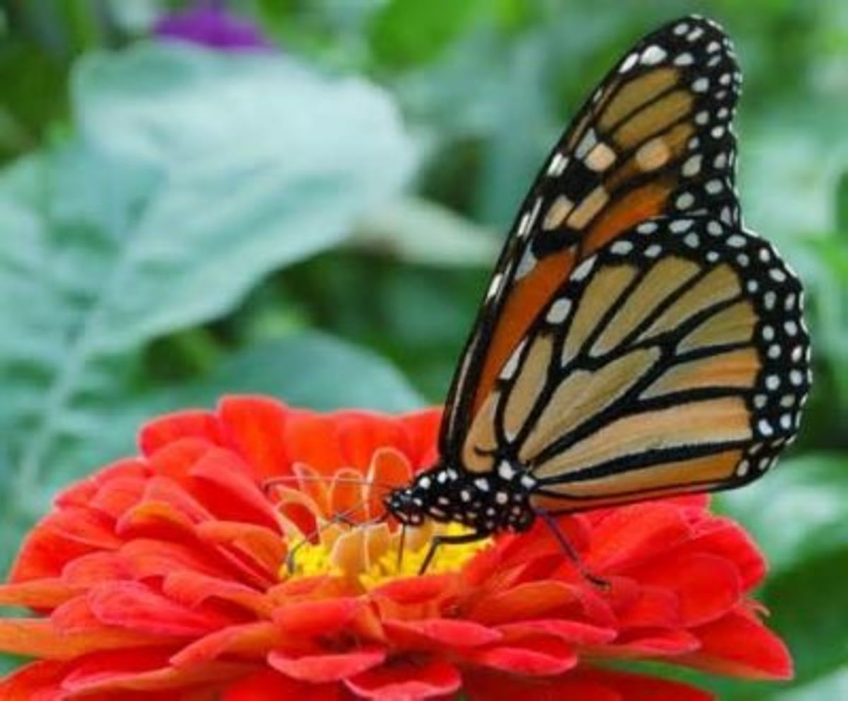 The Law of Attraction is what Attracts the Butterfly to the Flower