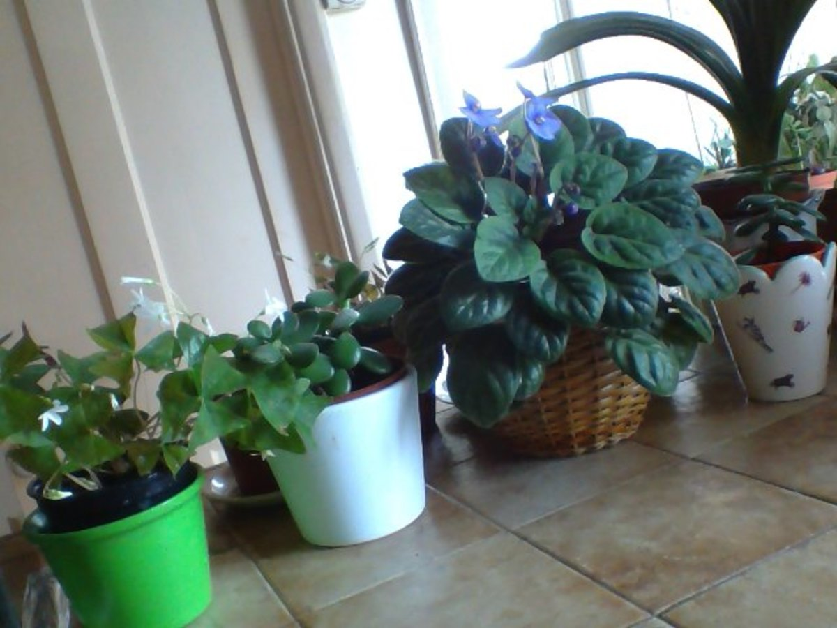 Flowering Green Oxalis, Young Money Tree Plant, African Violet with flowers coming out and Kaffir Lily