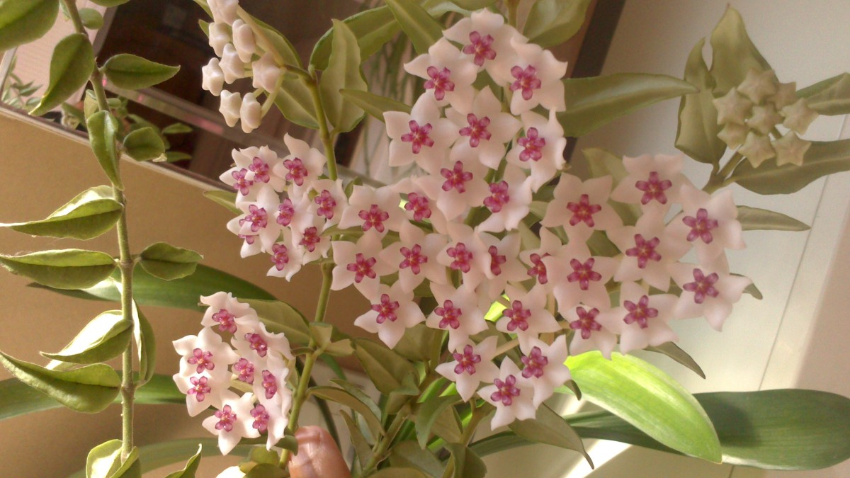 Hoya Plant with star-like flowers