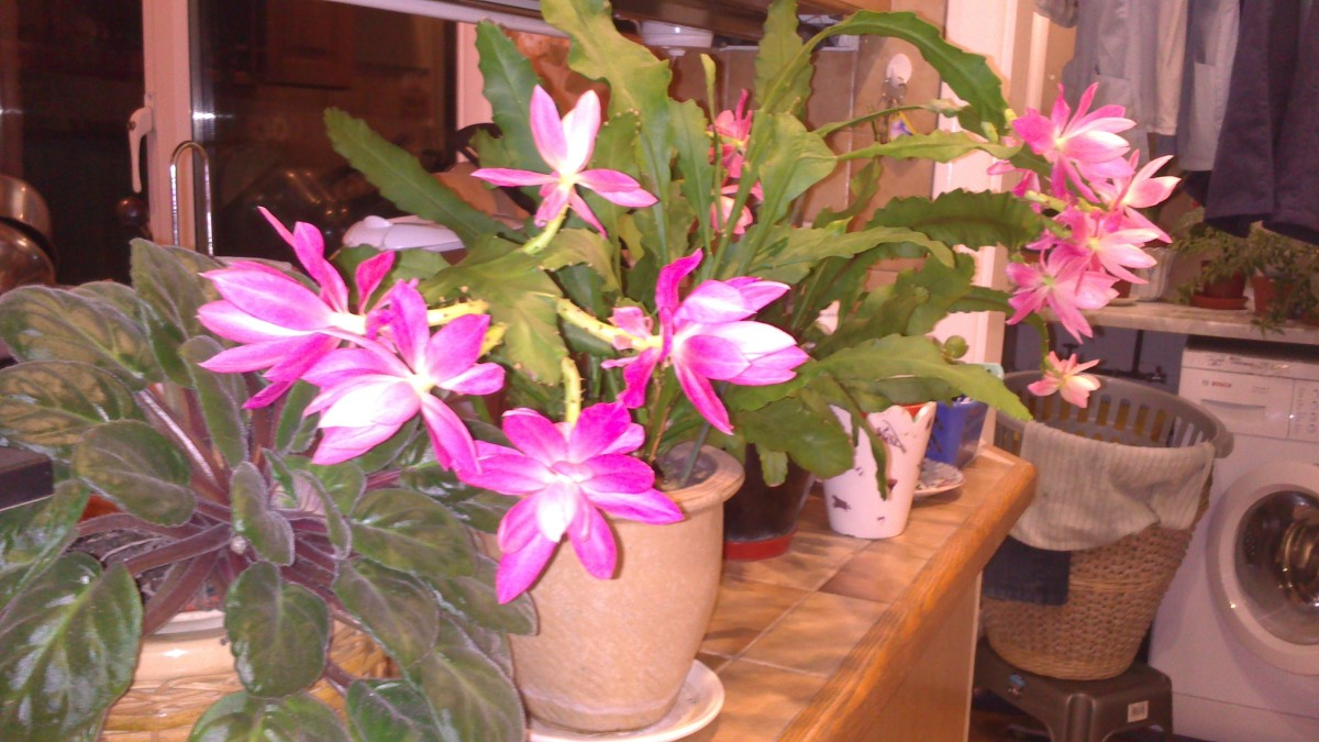 pinky orchid cactus