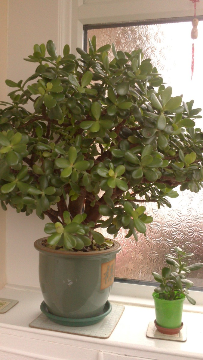 my Money Tree (Jade)