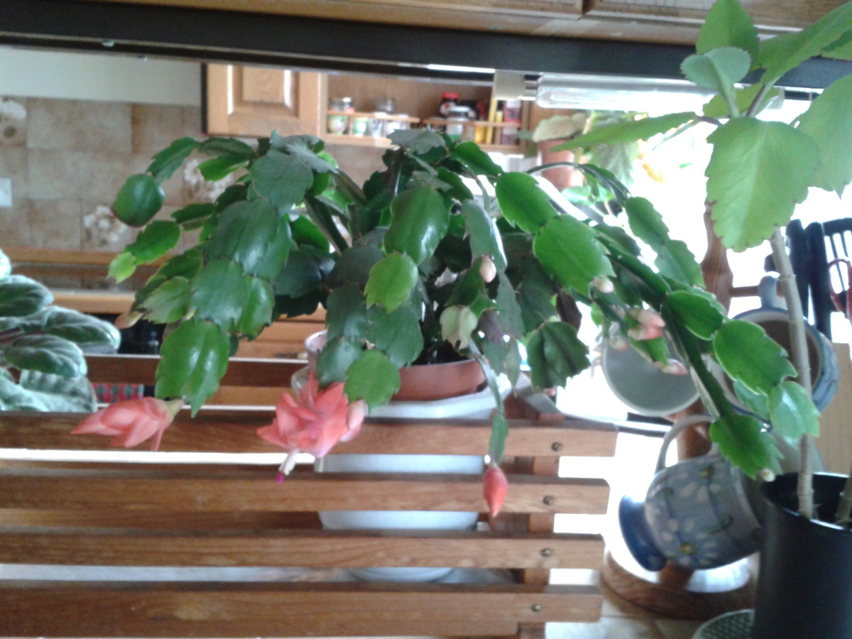 Christmas cactus (peach flowers) with Kalanchoe Pinnata