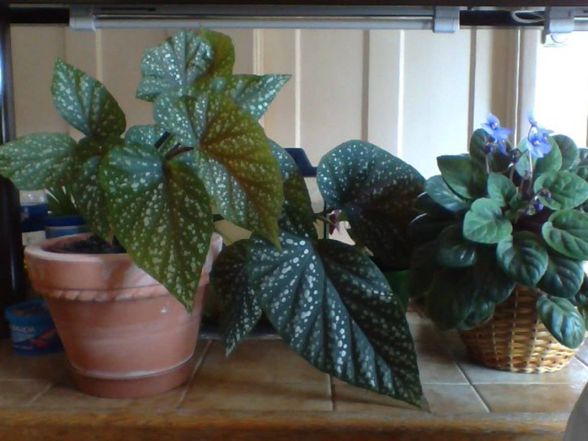 New Speckled Begonia Plant and flowering African Violet