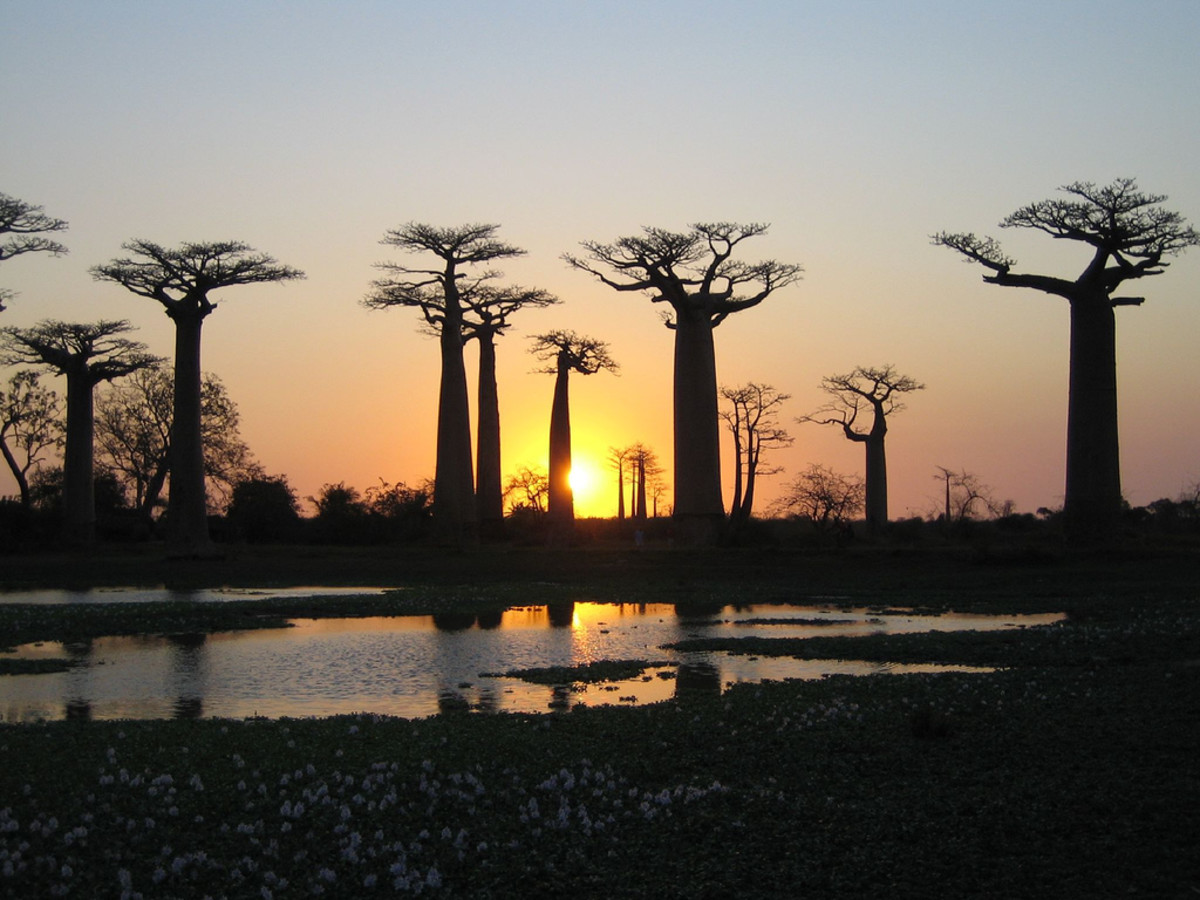 """Native to Africa these """"upside down"""" trees are instantly recognizable."""