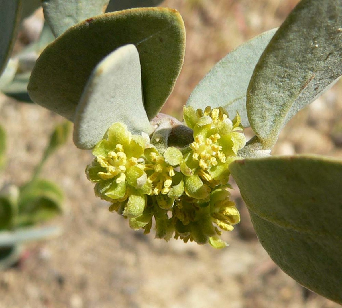 Each jojoba plant is either male or female.