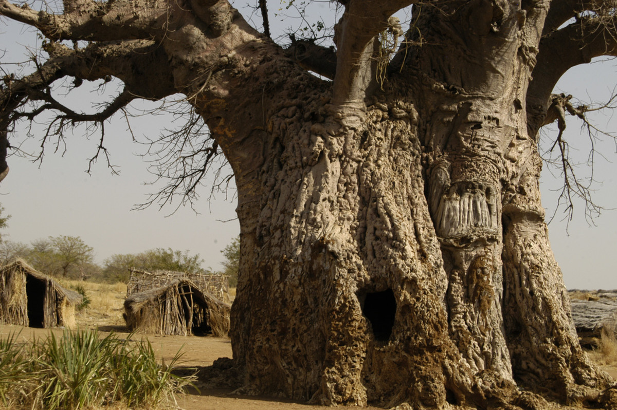 Baobab Oil extracted from the seeds of the fruit from the amazing Baobab tree (Adansonia digitata)
