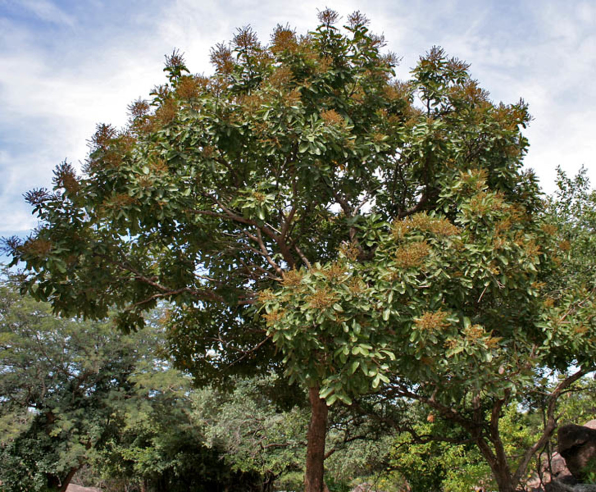 The soap nut tree is a member of the Sapindus genus