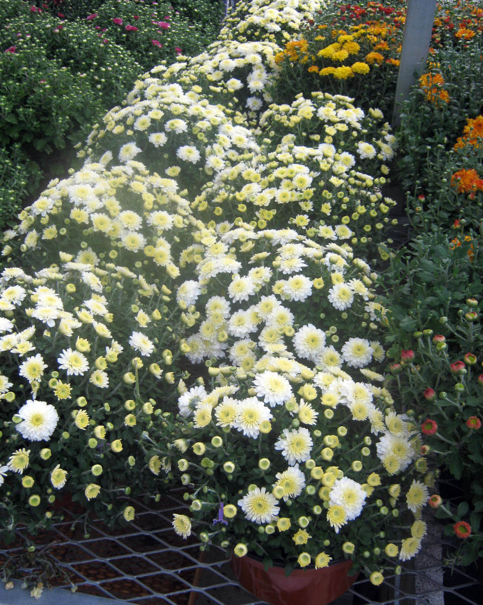 Mums are typically fall flowers