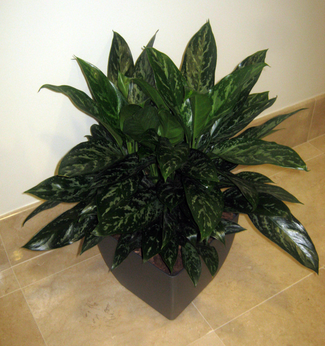 Chinese Evergreen loves low light!