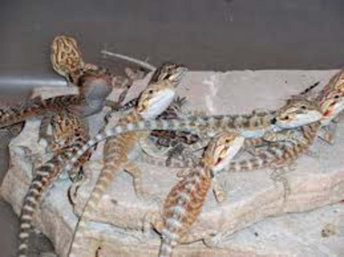 Group of bearded dragon hatchlings
