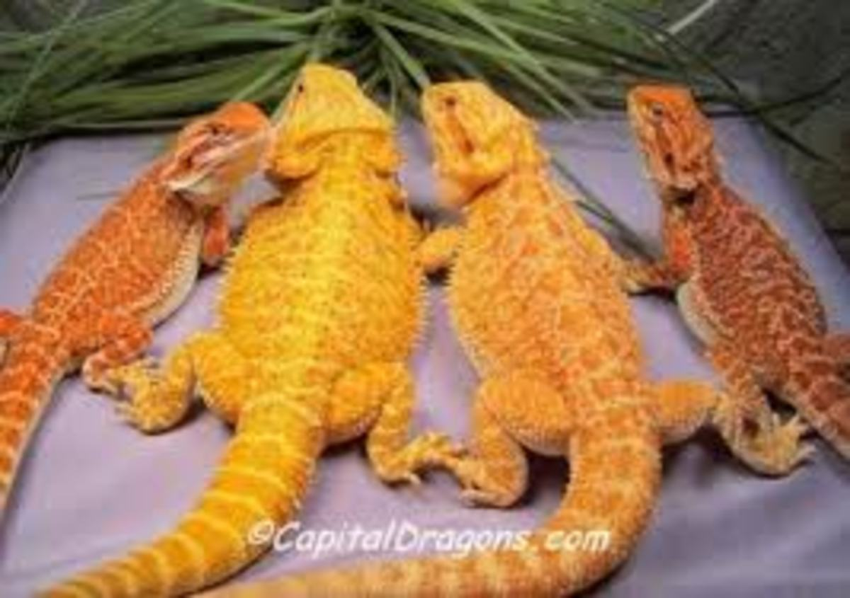 Citrus and Fire Bearded Dragons