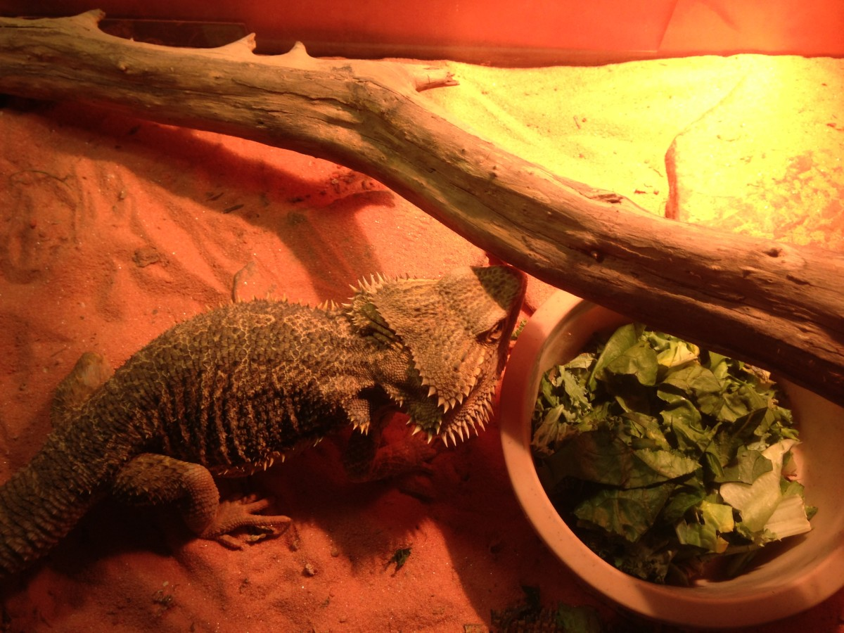 Bearded Dragon eating cricket salad